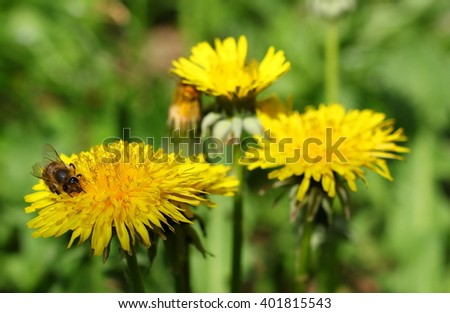 yellow dandelions and bee  in green grass, taraxacum officinale, close up - stock photo