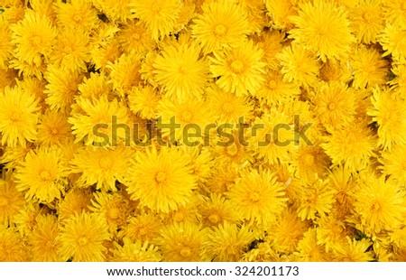 Yellow dandelions background - stock photo