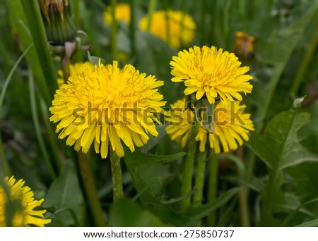 Yellow dandelions close-up. Flowers and meadows - stock photo