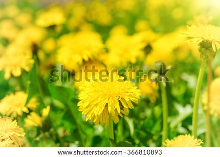 Yellow dandelions on the green field closeup in summer - stock photo