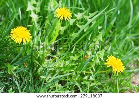Yellow dandelions on the meadow - stock photo