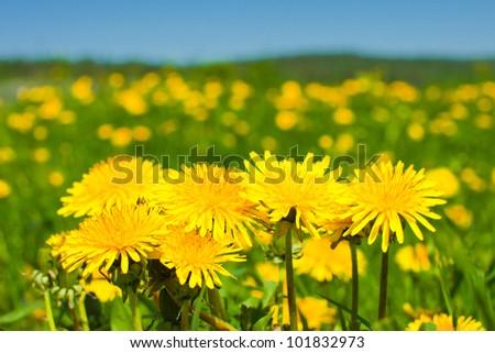 Yellow dandellions under blue sky - stock photo