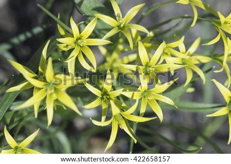 Yellow  day-lily flowers during the spring bloom / Day-lily Garden. - stock photo