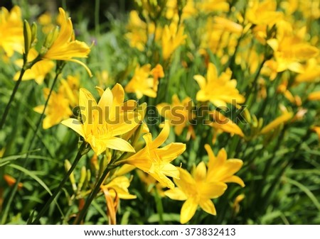 Yellow Day lily or Hemerocallis. - stock photo