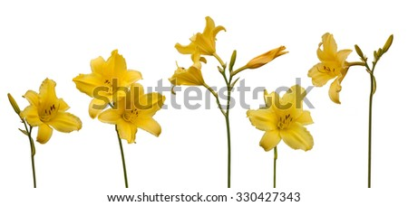 Yellow Daylily (hemerocallis) on a white background isolated. - stock photo
