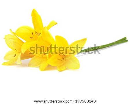 Yellow daylily on a white background - stock photo