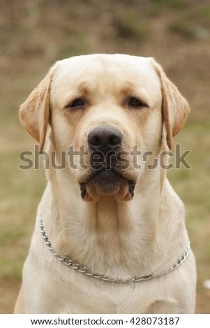 yellow dog Labrador Retriever seriously looking - stock photo