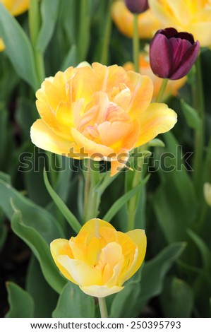 yellow double bloom tulip in garden  on daytime - stock photo