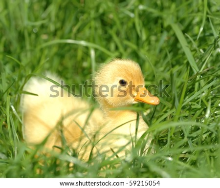 Yellow duckling - stock photo