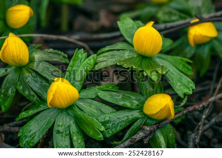 Yellow eranthis flowers blooming ag springtime - stock photo