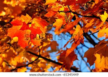 yellow fall maple leafs illuminated background - stock photo