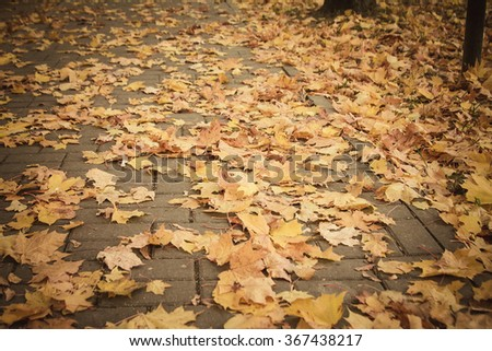 Yellow fallen maple leaves on the road - stock photo