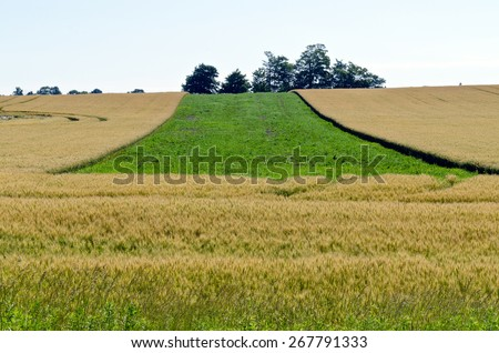 Yellow field of wheat at summer day - stock photo