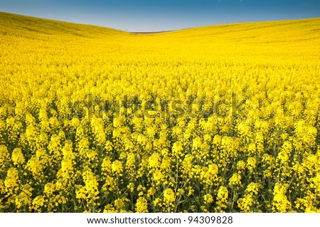 Yellow field rapeseed in bloom - stock photo