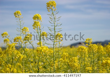 Yellow field rapeseed in bloom in Spring, on blue sky background. - stock photo