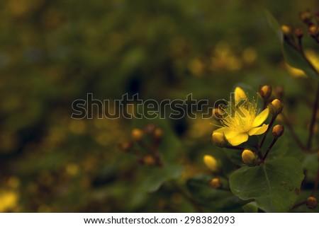 Yellow Flower and dark blurred background - stock photo