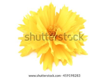 yellow flower coreopsis  isolated on white - stock photo