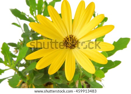 yellow flower  daisy Osteospermum - stock photo