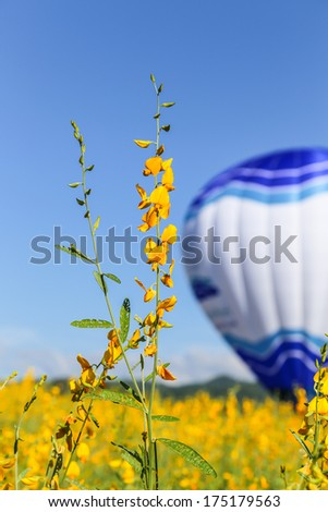Yellow flower fields with balloon and blue sky background  - stock photo