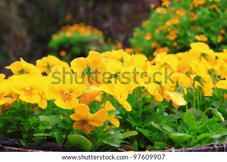 Yellow flower garden background - stock photo