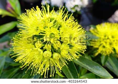 Yellow flower in garden summer season:Close up,select focus with shallow depth of field. - stock photo