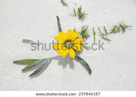 Yellow flower in the dunes of De hoop nature reserve, South Africa - stock photo