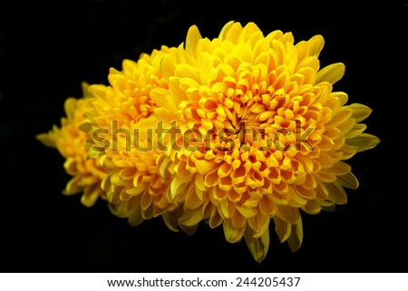 Yellow Flower isolated on black, Marigold - stock photo