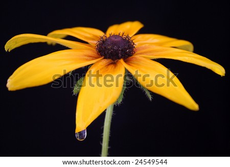 Yellow flower named Coreopsis - stock photo
