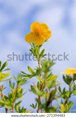 Yellow flower of Dasiphora fructicosa reaching towards blue sky with some clouds. - stock photo