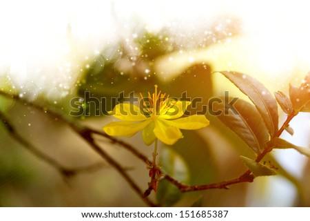 Yellow flower of Micky mouse plant (Ochna kirkii Oliv.) - stock photo