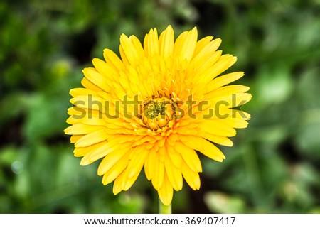 Yellow flower on nature - stock photo