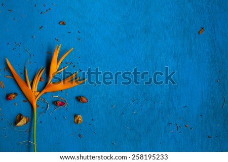 Yellow flower with rose buds and shuck on blue wooden background. Top view. Space for text. - stock photo