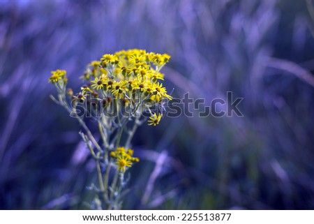 Yellow flowered Yarrow (Achillea millefolium) on a very cool blue environmental background - stock photo