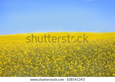 Yellow Flowering Canola Fields in Alberta, Canada - stock photo