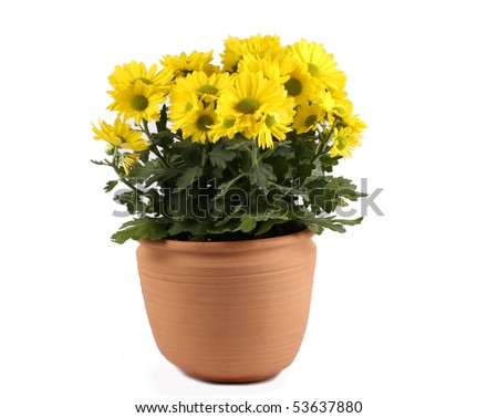 Yellow flowering chrysanthemum pot plant - stock photo