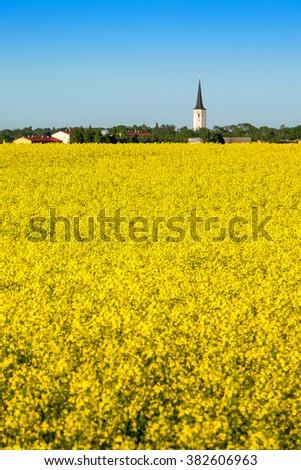 Yellow flowering rapeseed field. Estonia, Europe - stock photo