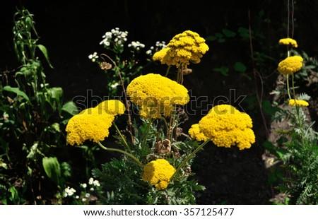 yellow flowering yarrow - stock photo