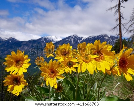 Yellow Flowers and Snow Capped Mountains in Spring.  Fourth of July trail near Leavenworth and Seattle, Washington State, USA.  - stock photo