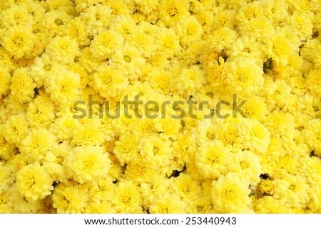 Yellow flowers background - stock photo