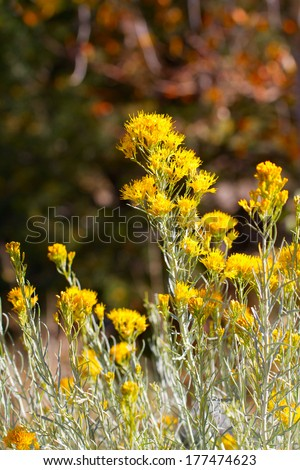 Yellow flowers bloom in autumn on Chamisa, aka Rabbit Bush, in Santa Fe, New Mexico - stock photo