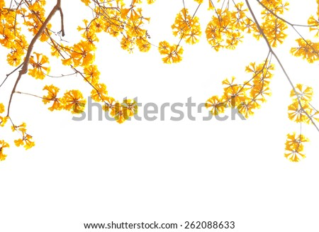yellow flowers bloom in spring isolated on white background - stock photo