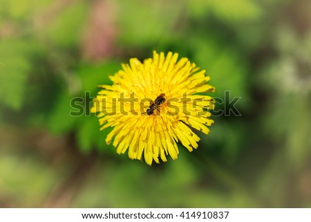 Yellow flowers dandelions being pollinated by a honey-bee. - stock photo