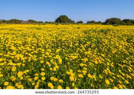 yellow flowers field - stock photo