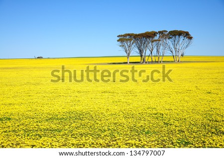 Yellow flowers field and blue sky. - stock photo