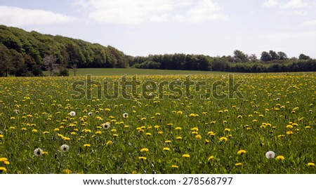 Yellow flowers field close to forest in Denmark - stock photo