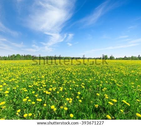 Yellow flowers  field under blue sky - stock photo