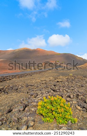 Yellow flowers growing on lava soil in Timanfaya National Park, Lanzarote, Canary Islands, Spain - stock photo