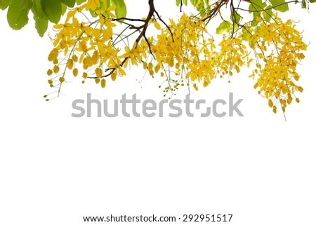 Yellow flowers in full bloom isolated on white  - stock photo