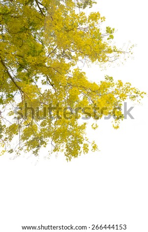 Yellow flowers in full bloom isolated on white background with clipping path. - stock photo