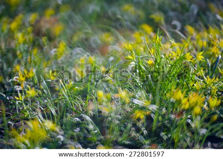 yellow flowers in Green Summer Grass Meadow Close-Up With Bright Sunlight. Sunny Spring Background - stock photo